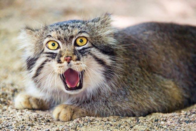 pallas-cat-manul-23__880-670x447